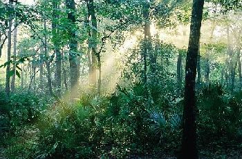 Pine forest of the Ocala National Forest